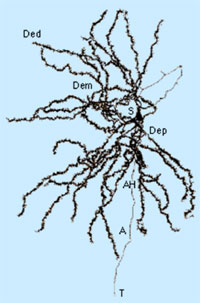 Medium spiny neuron of the striatum